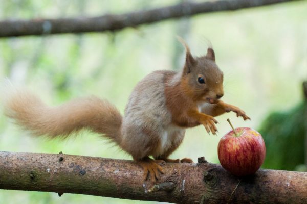 A wild Red Squirrel jumping on an apple in excitement